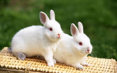 宠物兔的喂养